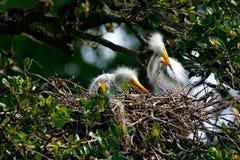 Grandes polluelos blancos del Egret Foto de archivo