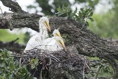 Grandes polluelos de la garceta Fotografía de archivo libre de regalías