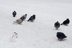 Grandes pombos dos sustos diminutos do boneco de neve no parque fotografia de stock royalty free