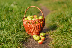 Grandes pommes mûres vertes dans un panier en osier à la fin de l'été au soleil dans l'herbe verte dans le jardin Image libre de droits