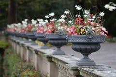Grandes potenciômetros das flores Imagem de Stock Royalty Free