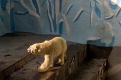 Grandes promenades blanches d'un ours blanc photographie stock libre de droits
