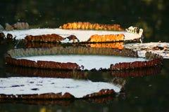 Grandes protections de lis sur un étang Image stock