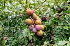 Grandes prunes jaunes bleues juteuses sur une branche image libre de droits