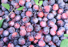 Grandes prunes mûres en grande quantité. Photographie stock libre de droits