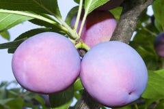 Grandes prunes mûres sur une branche d'arbre contre le ciel bleu. Images libres de droits