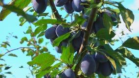 Grandes prunes sur l'arbre clips vidéos