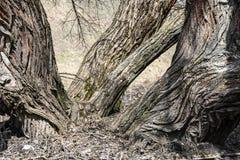 Grandes racines d'un vieil arbre large image libre de droits