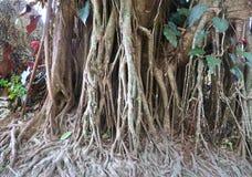 Grandes racines s'élevant dans la jungle de la Thaïlande Photo stock