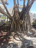grandes raizes da árvore Fotografia de Stock