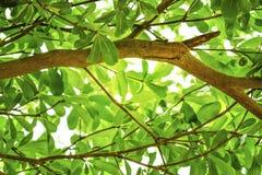 Grandes ramos das folhas verdes, paisagem da mola Imagens de Stock Royalty Free