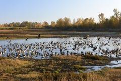Grandes rebanhos dos gansos canadenses que descansam e que encenam durante seu Autumn Migration anual Imagens de Stock Royalty Free