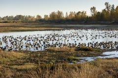 Grandes rebanhos dos gansos canadenses que descansam e que encenam durante seu Autumn Migration anual Imagem de Stock Royalty Free