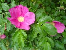 Grandes rosas cor-de-rosa com folhas verdes fotos de stock royalty free