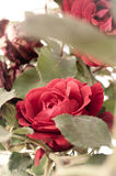 Grandes rose et feuilles touffues sur un fond blanc Images stock