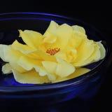 Grandes roses dans un vase bleu de verre sur un fond noir Images stock