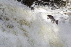 Grandes salmões atlânticos que pulam acima da cachoeira em sua rota de migração da maneira ao seu spwning - terras imagens de stock royalty free