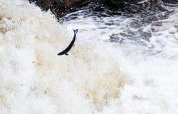 Grandes salmões atlânticos que pulam acima da cachoeira em sua rota de migração da maneira ao seu spwning - terras fotografia de stock