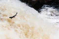 Grandes salmões atlânticos que pulam acima da cachoeira em sua rota de migração da maneira ao seu spwning - terras foto de stock royalty free