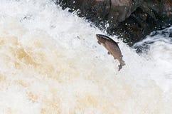 Grandes salmões atlânticos que pulam acima da cachoeira em sua rota de migração da maneira ao seu spwning - terras imagem de stock