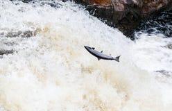 Grandes salmões atlânticos que pulam acima da cachoeira em sua rota de migração da maneira ao seu spwning - terras fotografia de stock royalty free