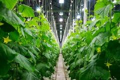 Grandes serres chaudes fruitières de concombre Photographie stock libre de droits