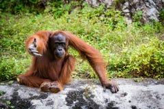 Grandes singes d'orang-outan Image libre de droits