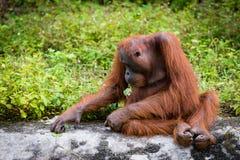 Grandes singes d'orang-outan Photo libre de droits