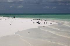Grandes sternes crêtées sur l'îlot de tabou de Motu Image stock