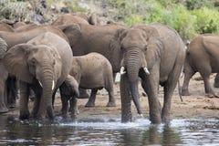 Grandes suporte e bebida do rebanho do elefante na borda de um furo de água Imagem de Stock Royalty Free