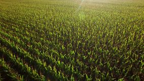 Grandes terres cultivables de champs de maïs au lever de soleil banque de vidéos