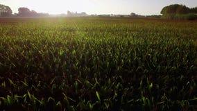 Grandes terres cultivables de champs de maïs au lever de soleil clips vidéos