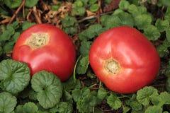 Grandes tomates mûres se trouvant sur l'herbe Images stock