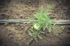 Grandes tomates vertes s'élevant à la ferme organique à Washington, Etats-Unis Photo libre de droits