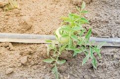 Grandes tomates vertes s'élevant à la ferme organique à Washington, Etats-Unis Photos libres de droits