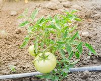 Grandes tomates vertes s'élevant à la ferme organique à Washington, Etats-Unis Image stock