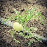 Grandes tomates vertes s'élevant à la ferme organique à Washington, Etats-Unis Photo stock