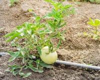 Grandes tomates vertes s'élevant à la ferme organique à Washington, Etats-Unis Photographie stock libre de droits