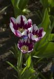 Grandes tulipas marrons com listras brancas perto acima imagens de stock