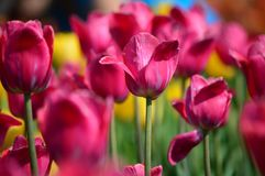 Grandes tulipes d'amour à l'île Tulip Garden de moulin à vent photo stock