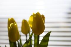 Grandes tulipes jaunes semblantes sur un fond ensoleillé photo stock