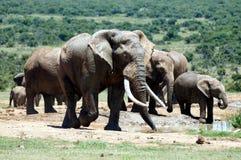 Grandes-tusked Addo Elephant e rebanho na represa de Hapoor Imagens de Stock Royalty Free