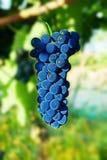 Grandes uvas pretas Foto de Stock