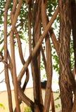 Grandes vignes tordues de jungle avec des feuilles photographie stock libre de droits
