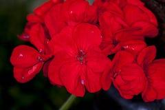 Grandeur Ivy Scarlet. Close up Royalty Free Stock Image