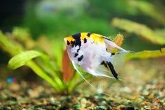 Grandeur scalaire de poissons Photo stock