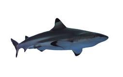 A grandezza naturale dello squalo isolato su bianco fotografie stock