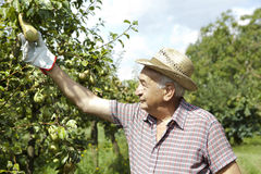 Grandfather farmer who gathers pears from tree with straw hat Stock Images