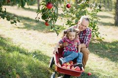 grandfather with granddaughter with Apple in the Apple Orchard. healthy childhood, vacations in the farm royalty free stock image