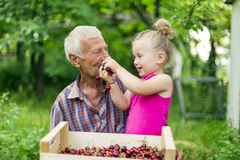 Grandfather with the granddaughter eating cherries Stock Photo
